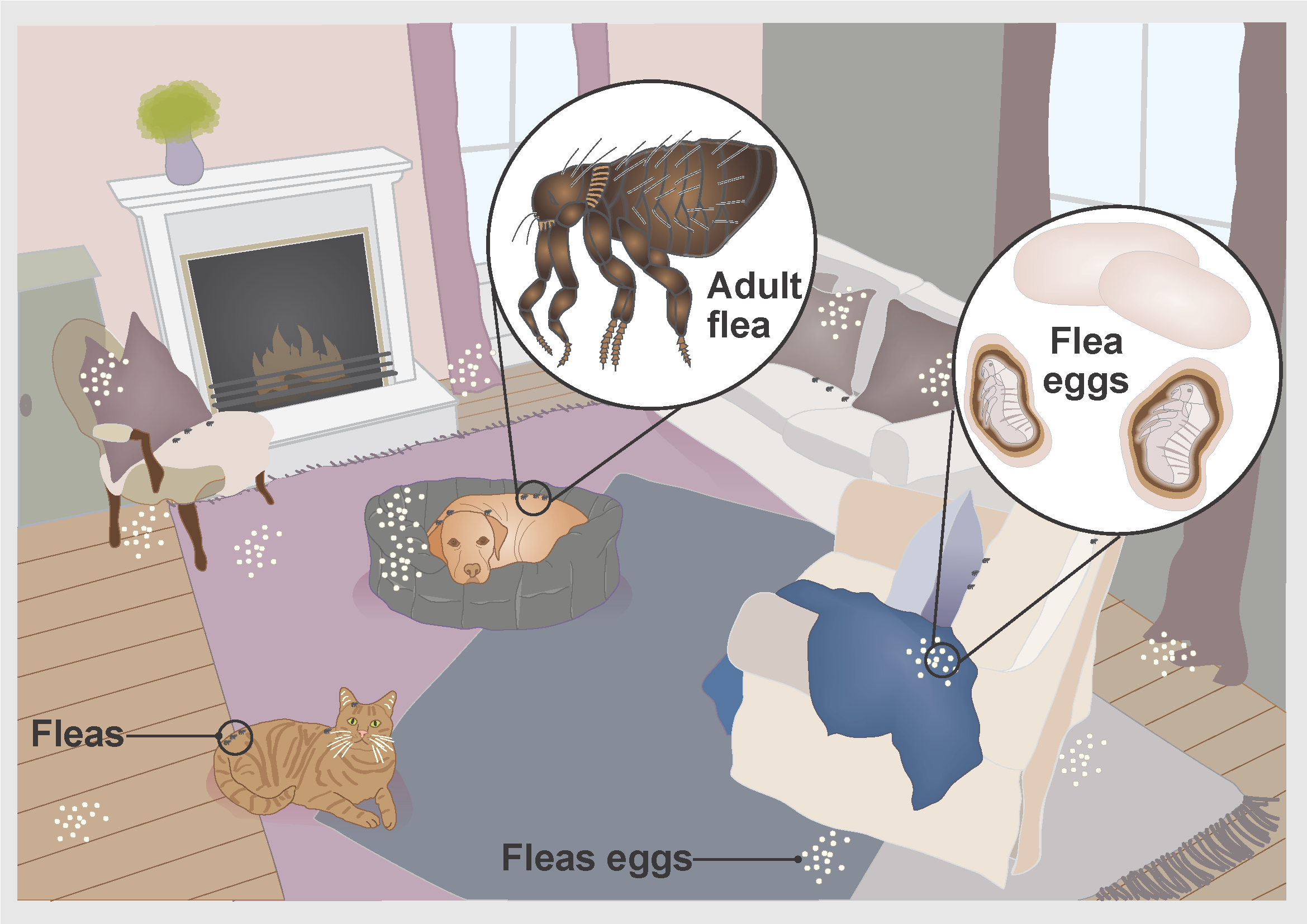 Illustration showing how fleas can live on pets and around the home