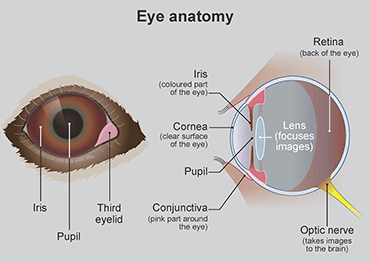 Illustration of the anatomy of a dog's eye