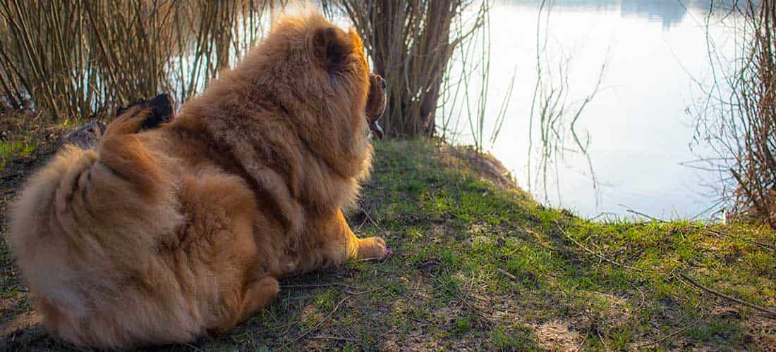 Chow Chow lay next to a lake in the woods