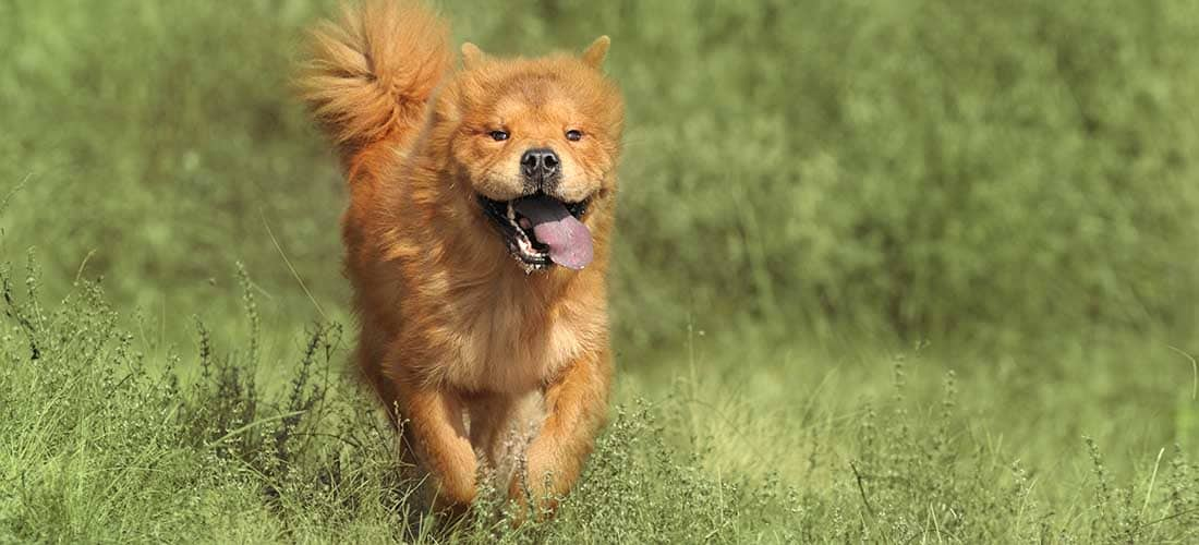 Chow Chow running through a field
