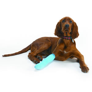A Red Setter with a bandaged paw