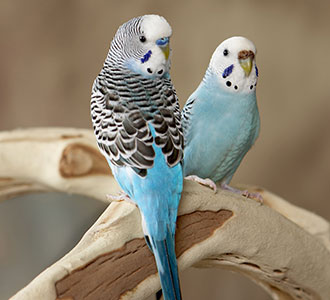 Keeping your budgie healthy - PDSA