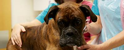 Vets treat Boxer dog with bandaged paw