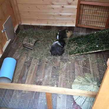 The ideal home for your guinea pig - PDSA