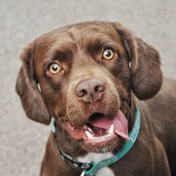 Milton, a brown Springer Spaniel crossbreed, looks up at the camera