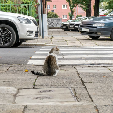 Tabby cat sitting by a zebra crossing on a busy road.
