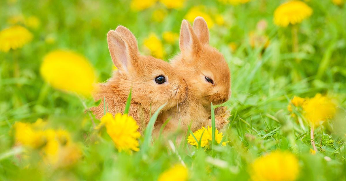 復活 節 復活 蛋 - 復活兔