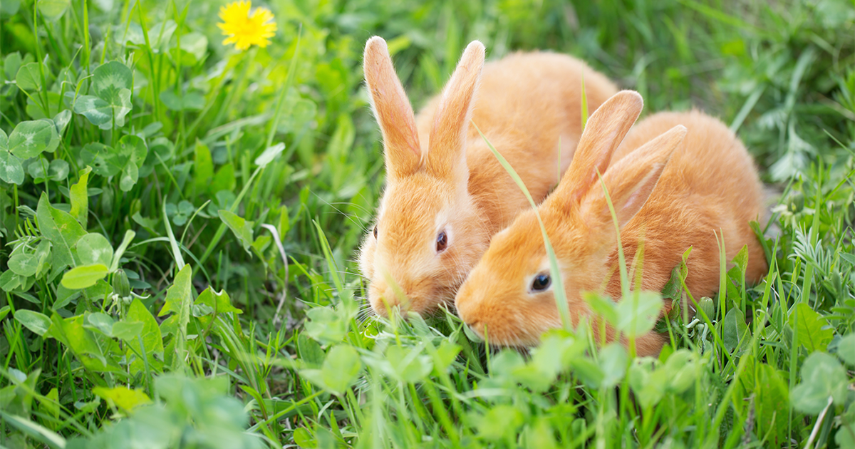 Introducing rabbits: how to help your bunnies bond - PDSA