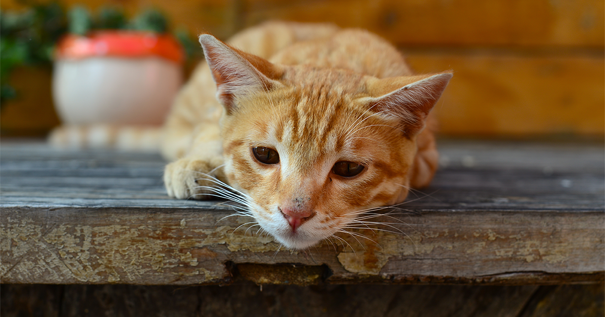 Low energy (lethargy) in cats - PDSA