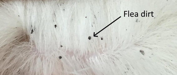 Photograph of little black flea dirts in a white dog's fur