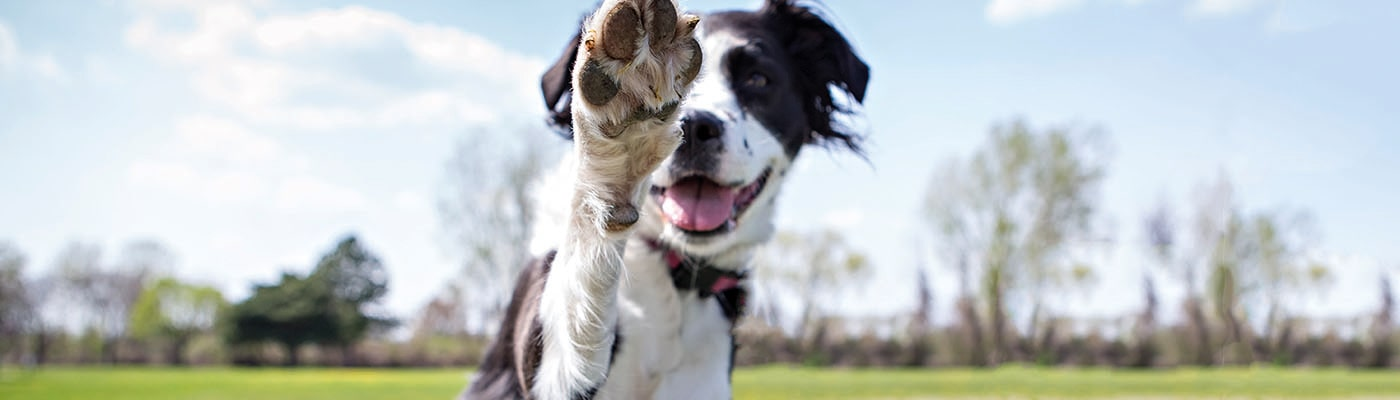 Photo of a collie giving it's paw