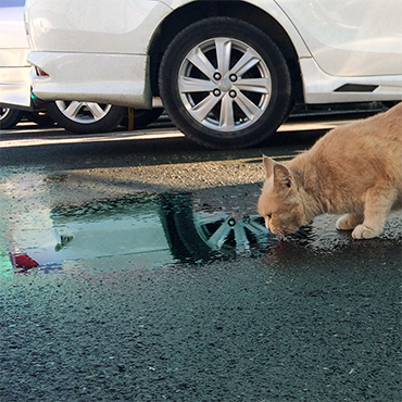 Photo of cat licking antifreeze spill