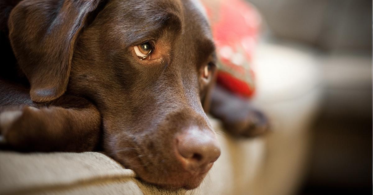 Lymphoma in dogs - PDSA
