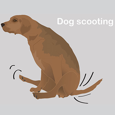 illustration of dog scooting