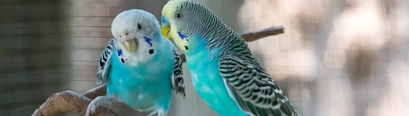 Pair of parakeets in the home