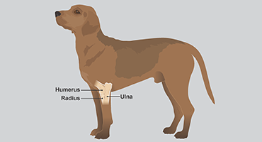 Illustration to show elbow joint in dogs