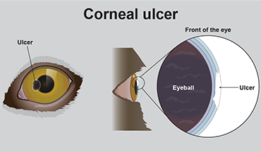 illustration showing corneal ulcers on a dog