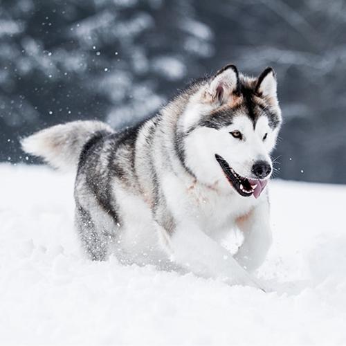 Alaskan Malamute - PDSA