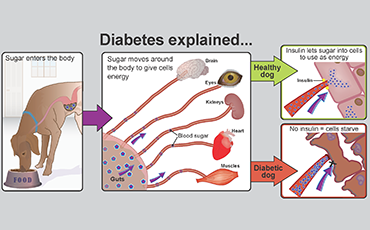 Illustration showing how diabetes works
