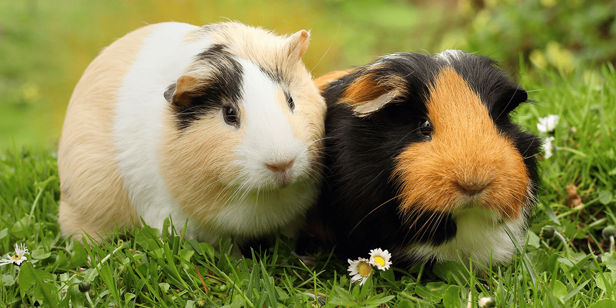 How To Introduce Guinea Pigs Pdsa