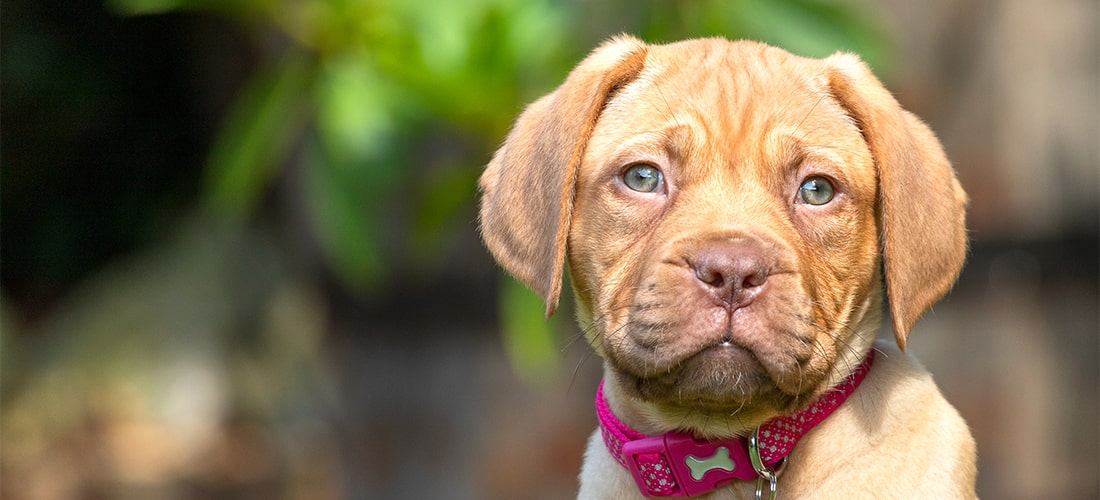 Dogue de Bordeaux - PDSA