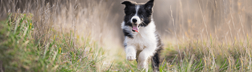 Collie puppy running in a garden