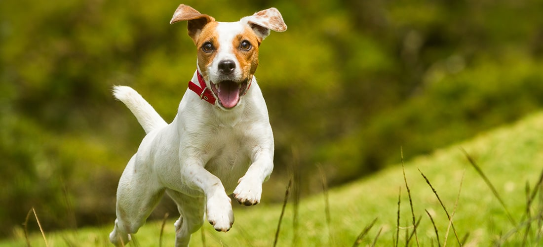 Jack russell terrier in red collar in mid-jump with its mouth open