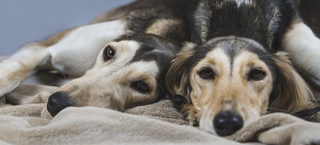 Two Saluki lying very close together in same bed