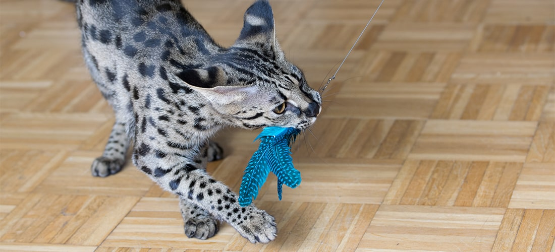 Photo of an F1 Savannah cat playing