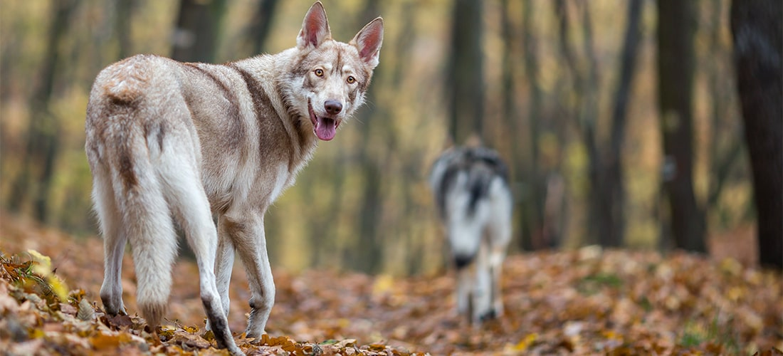 Photo of a Saarloos Wolfdog in a forest