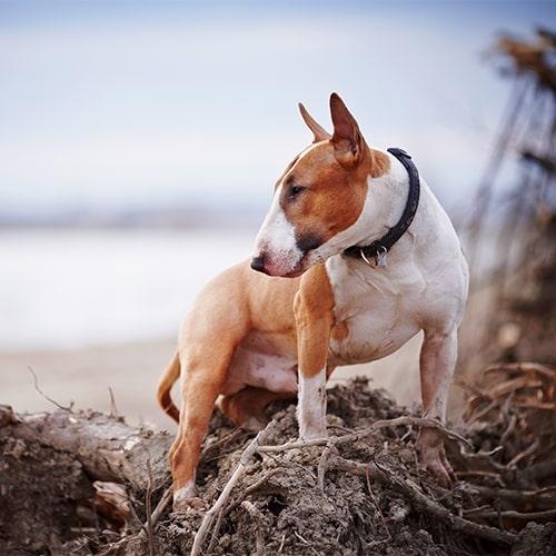 English Bull Terrier - PDSA
