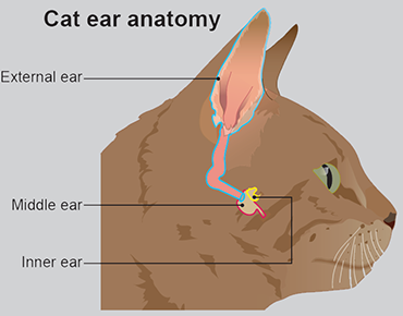 Illustration showing cat's ear anatomy