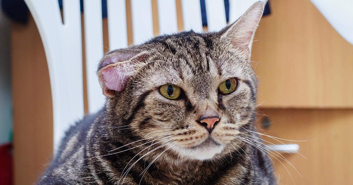 Haematoma Cats Ear - maternity photos