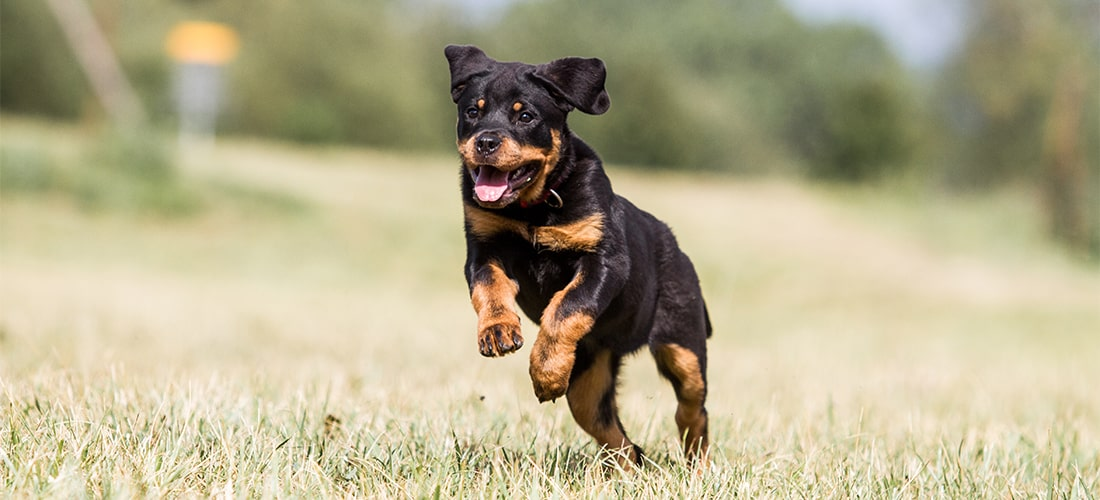 Rottweiler running and leaping outside on grass
