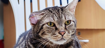 Photo of cat with swollen ear flap