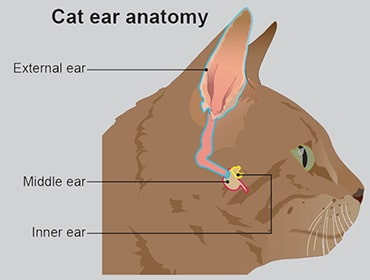 Illustration of a cat's ear anatomy