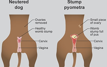 Illustration showing stump pyometra