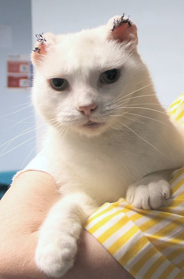 White cat who has had both ears removed due to cancer