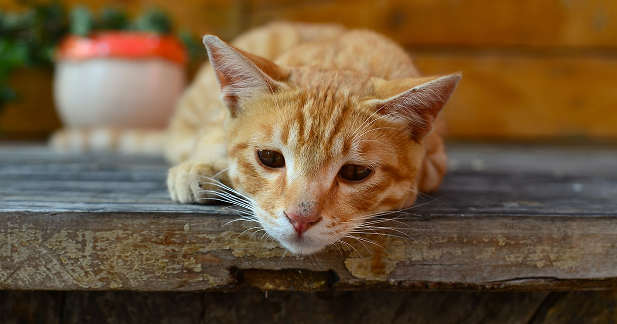Chronic Kidney Disease In Cats Pdsa