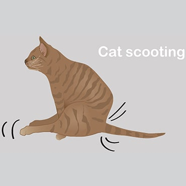 Illustration of cat scooting