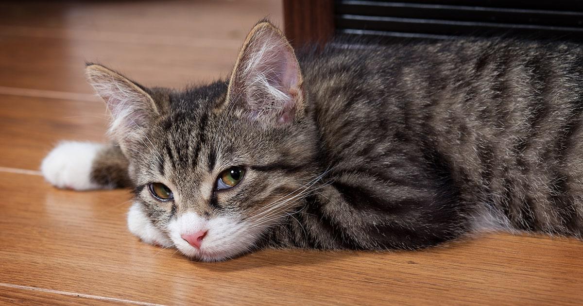 Hyperthyroidism In Cats Pdsa
