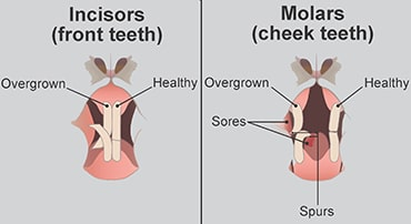 illustration showing overgrown teeth in rabbits