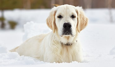 photo of a golden retriever