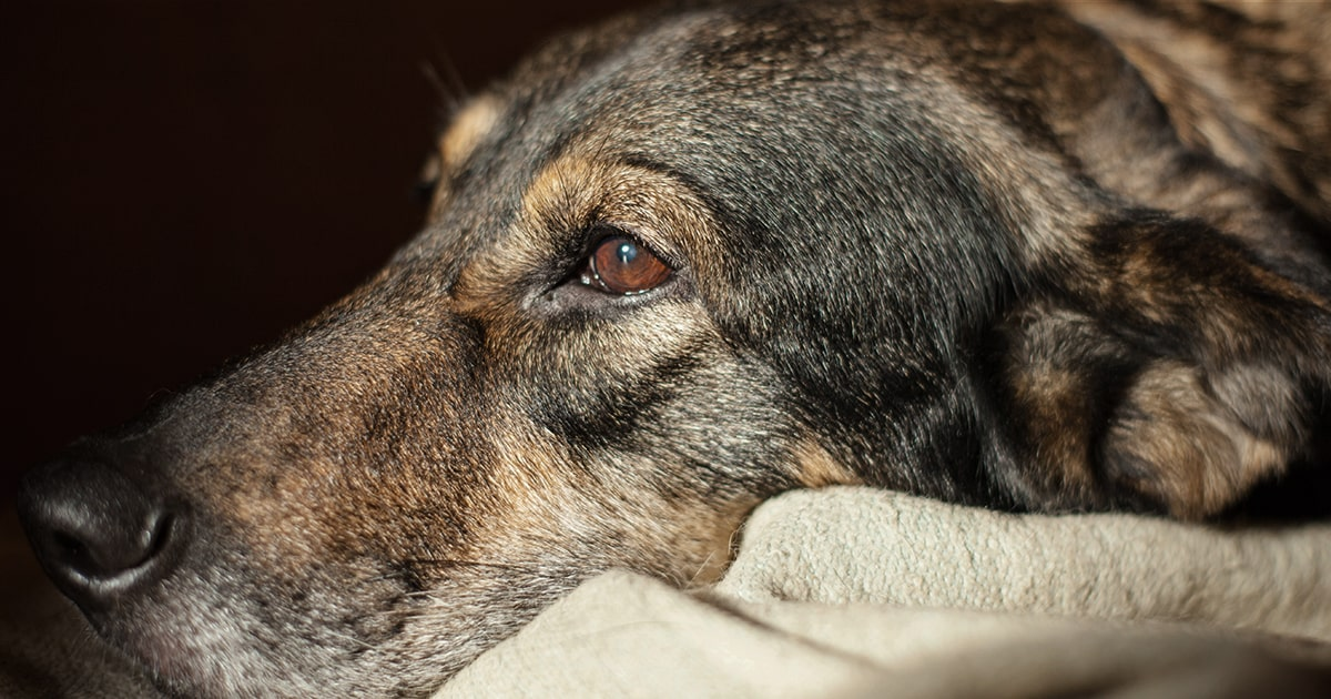 Anal gland abscesses in dogs - PDSA
