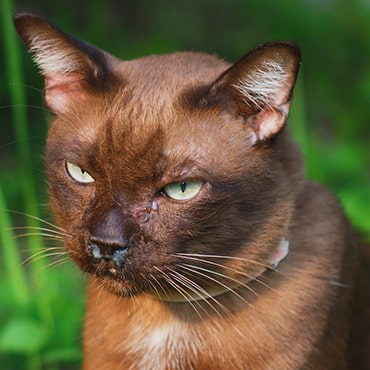 Photo of a cat with weeping eyes and runny nose