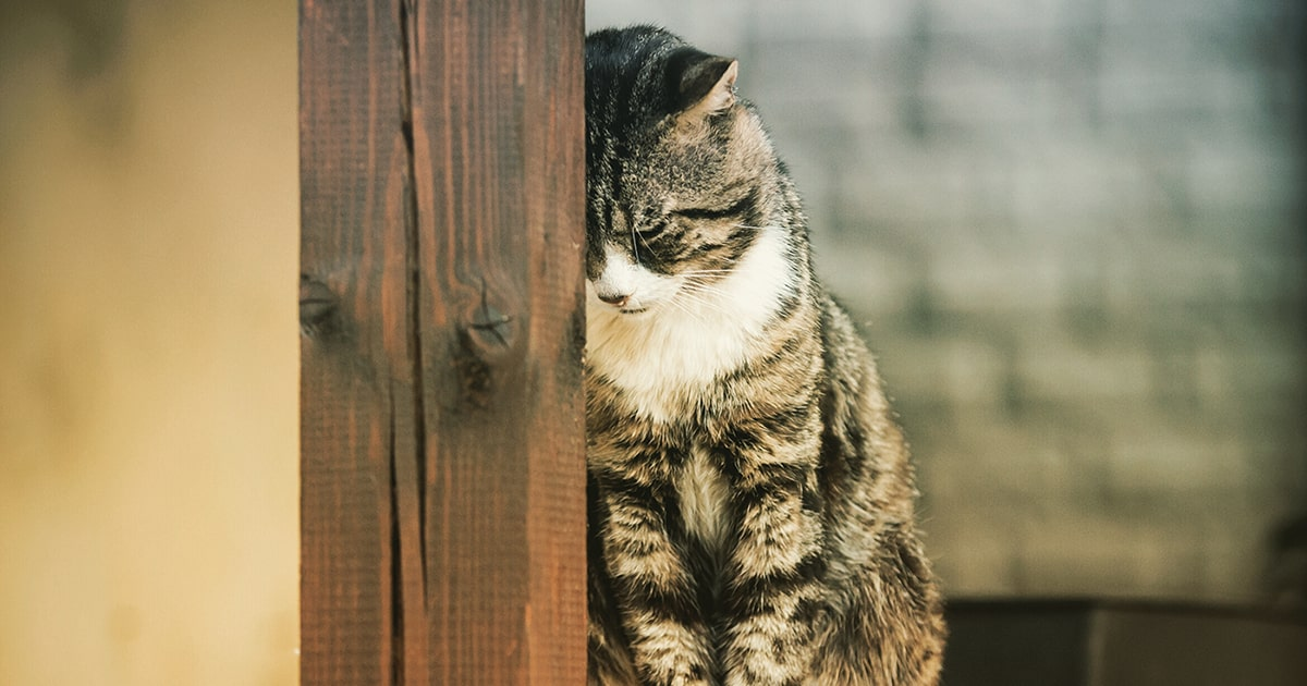 Bladder Infection Uti In Cats Pdsa