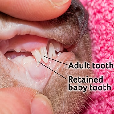 Photo showing retained baby tooth in cat's mouth
