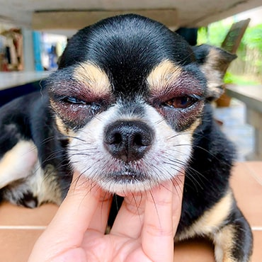 dog allergic reaction after bee sting