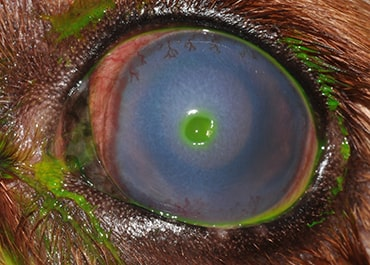 Photo of corneal ulcer. Image courtesy of Eye Veterinary Clinic.