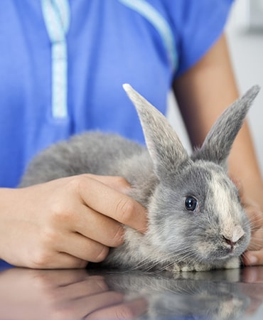 Photo of rabbit getting health check